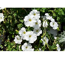 White calm flowers in the garden. Photographic Print