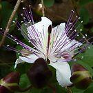 Caper blossom by bubblehex08
