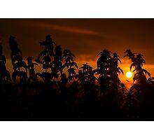 beautiful sunset through the wild nettles Photographic Print