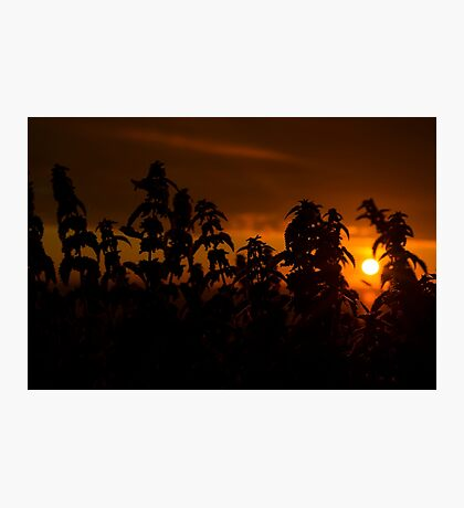 beautiful sunset through the wild nettles Photographic Print