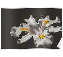 White Iris 4 Poster