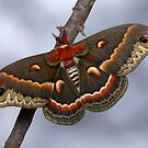 Cecropia by jimmy hoffman