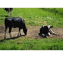 Cow outdoors in the meadow Photographic Print