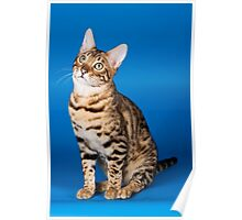 Charming cute red fluffy kitten Abyssinian cat Poster