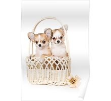Cute fluffy white dog puppy chihuahua Poster