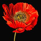 Poppy Power by Catherine Hamilton-Veal  ©