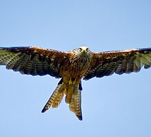 The Red Kite by Anthony Hedger Photography