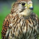 The posing hawk  by Anthony Hedger Photography