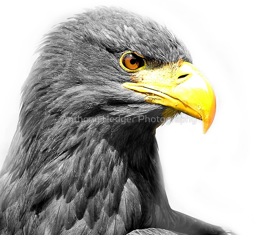 Hawk Eye by Anthony Hedger Photography