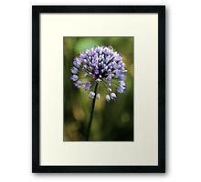 Allium --- Lavender Millenium Framed Print