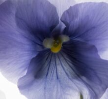 backlit pansy petals on a lightbox  Sticker
