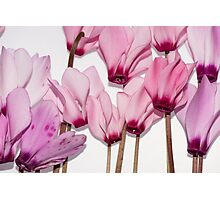 backlit violet petals (Cyclamen) on a lightbox Photographic Print