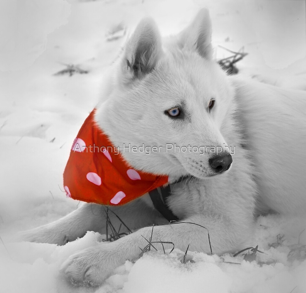 The polka dot bandanna  by Anthony Hedger Photography