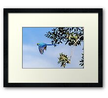 Blue parrot in flight  Framed Print