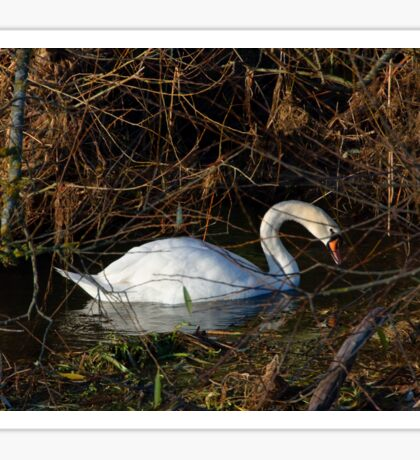 Swan on the River Ouse England UK Sticker