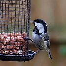Coal Tit by CiaoBella