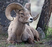 Resting Ram by Ken McElroy