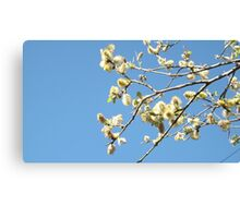 Tree branches in flower Canvas Print