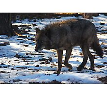 """Timber Wolf on the Prowl"" Photographic Print"