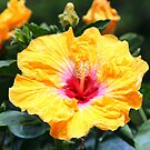Hibiscus Beauty by Cynthia48