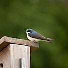 Tree Swallow by Jean Martin