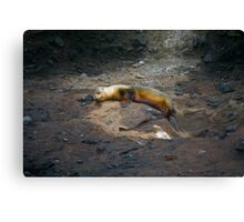 Sleeping Sea Lion Canvas Print
