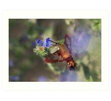 Hummingbird Clearwing Moth Art Print