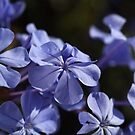 *The Plumbago Dance* by Joy Watson