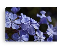 *The Plumbago Dance* Canvas Print