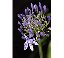 flower- agapanthus-blue-buds-one-flower Photographic Print