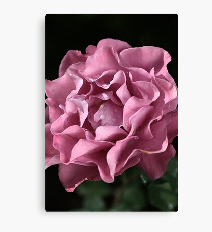 Frilly Rose Canvas Print