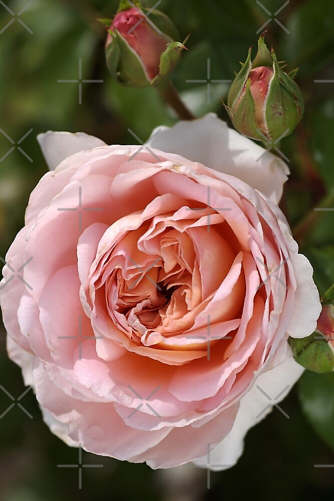 flower-pink-rose-bloom by Joy Watson