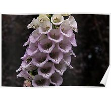 Exquisite Foxgloves Up Close Poster