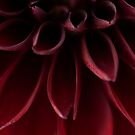 The red dahlia  by Kell Jeater