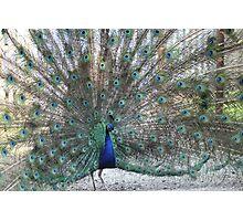 Peacock. Photographic Print