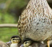 Wood Duck Family Sticker