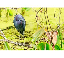 Little Blue Heron at Ollie's Pond Photographic Print