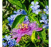 Passion Flower And Plumbago  Photographic Print