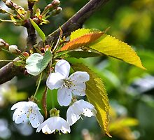 Blossom Tree in the garden....Dorset.UK by lynn carter