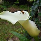 Banded Longhorn Beetle And Calla Lily by James Brotherton