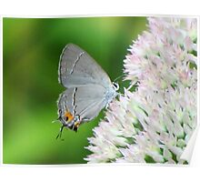 Delicate Gray Hairstreak Butterfly Poster