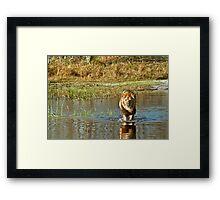 Lion crossing river Framed Print