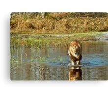 Lion crossing river Canvas Print