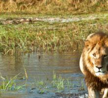 Lion crossing river Sticker