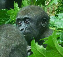 Awakening Baby Western Lowland Gorilla by Margaret Saheed