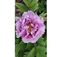 Peonies Garden Flower  Photographic Print