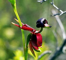 The Flying Duck Orchid by Rob Price