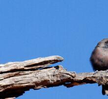 One Little Woodswallow Sticker