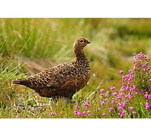 Famous Grouse Photographic Print