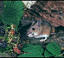 Woodmouse (Apodemus Sylvaticus) by ten2eight